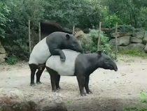 parende Maleise tapirs