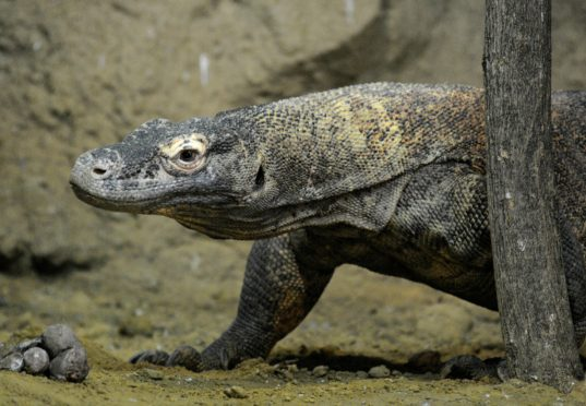 Komodo-varaan in het verblijf in het Aziëhuis