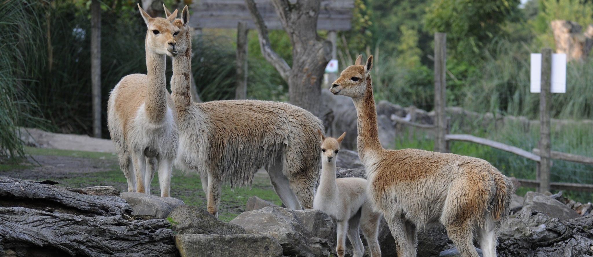 vicuña's kijken je aan