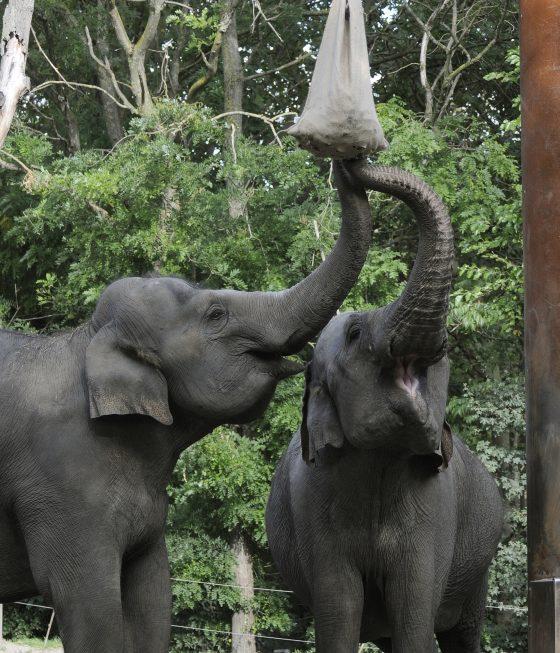 olifanten Irma en Bangka eten van traktatie