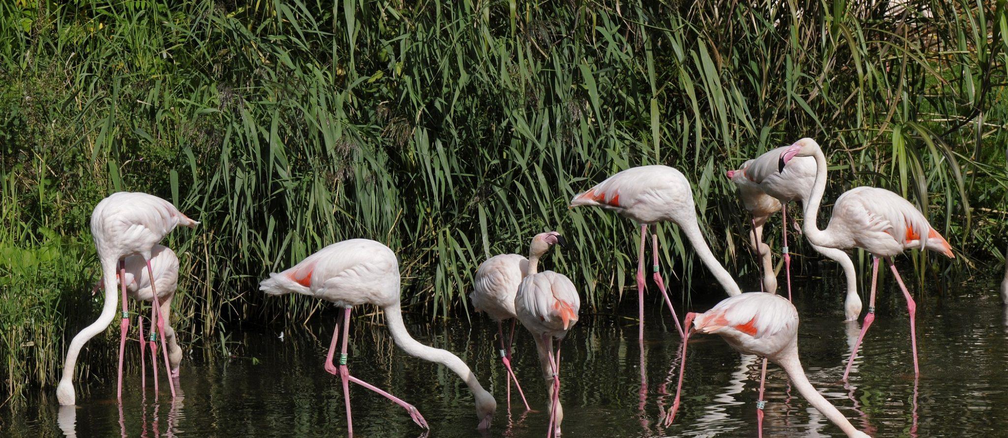roze flamingo's in het water groep