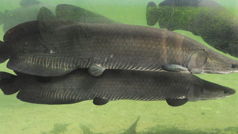 arapaima's: vissen in de vijver van Amazonica