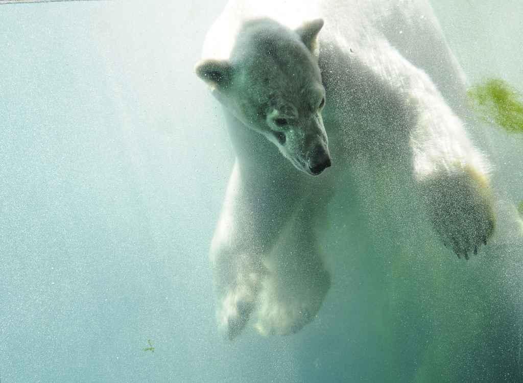 ijsbeer wolodja onder water