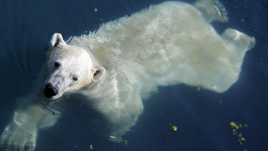 zwemmende ijsbeer kijkt omhoog