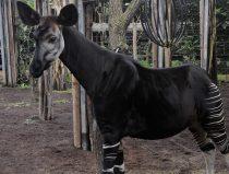 okapi Kamina in binnentuin