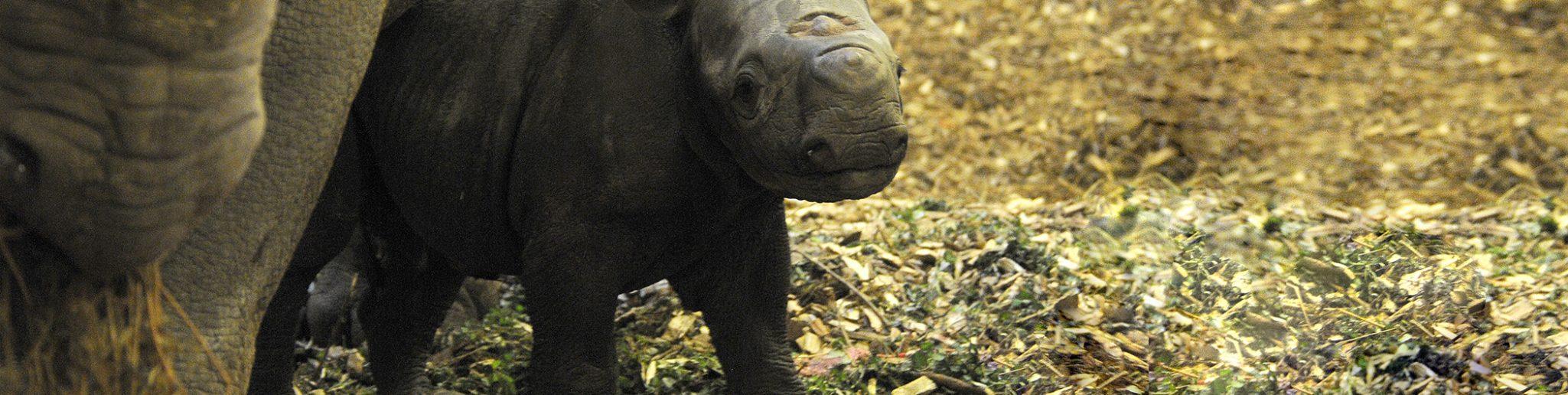 pasgeboren zwarte neushoorntje