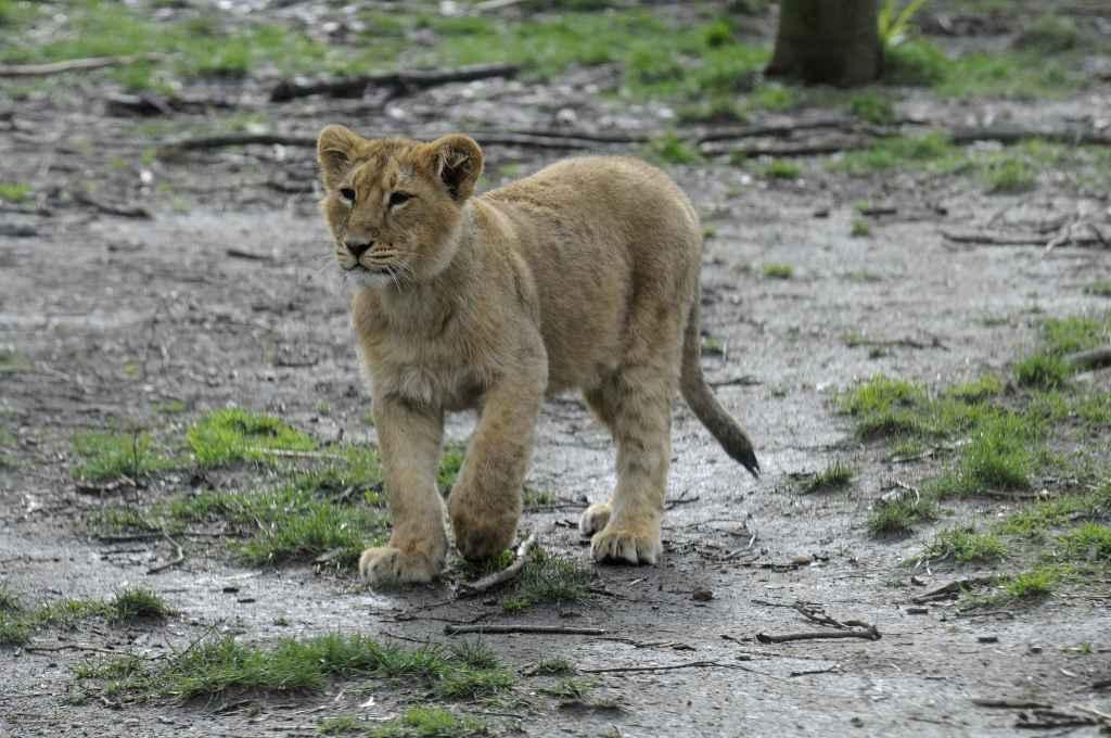 Aziatische leeuwin Mette