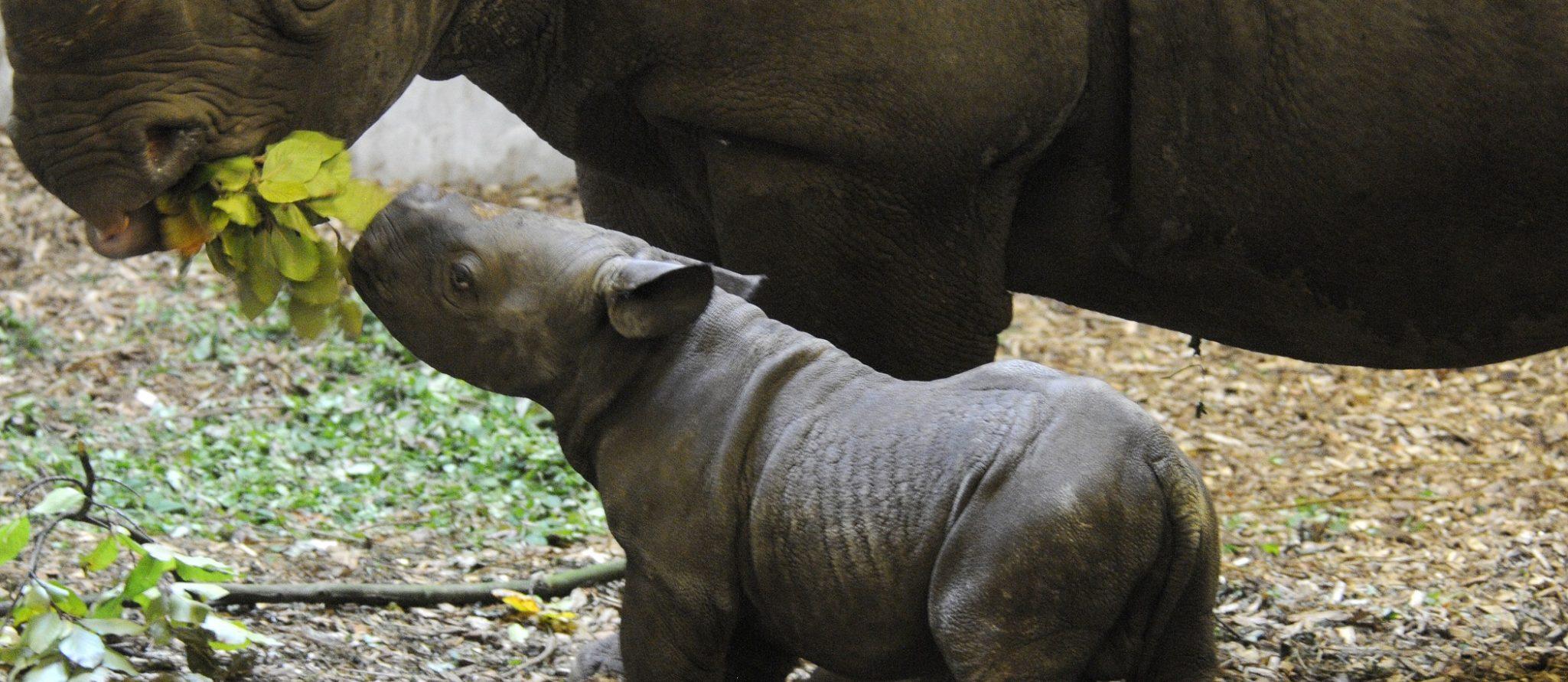 pasgeboren zwarte neushoorn snuffelt aan blaadje van moeder Naima