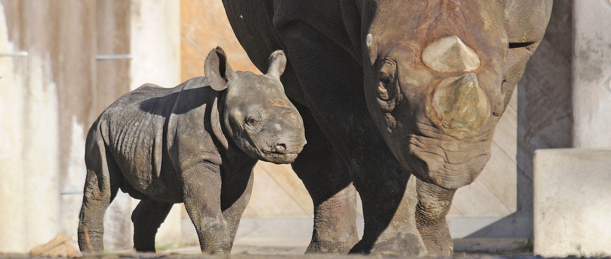 Zwarte neushoorn jong Nasor en moeder Naima
