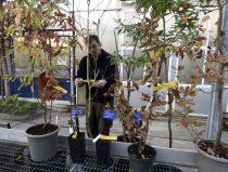 jonge bijzondere eikenboompjes in de kas