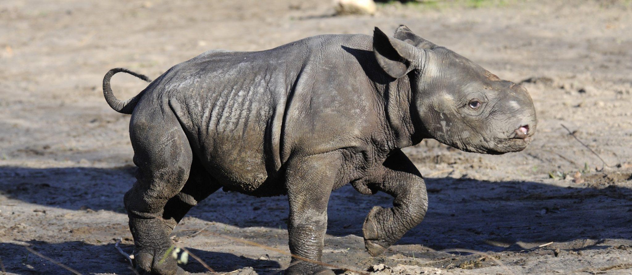 Nasor het zwarte neushoorn -jong stampt door de modder