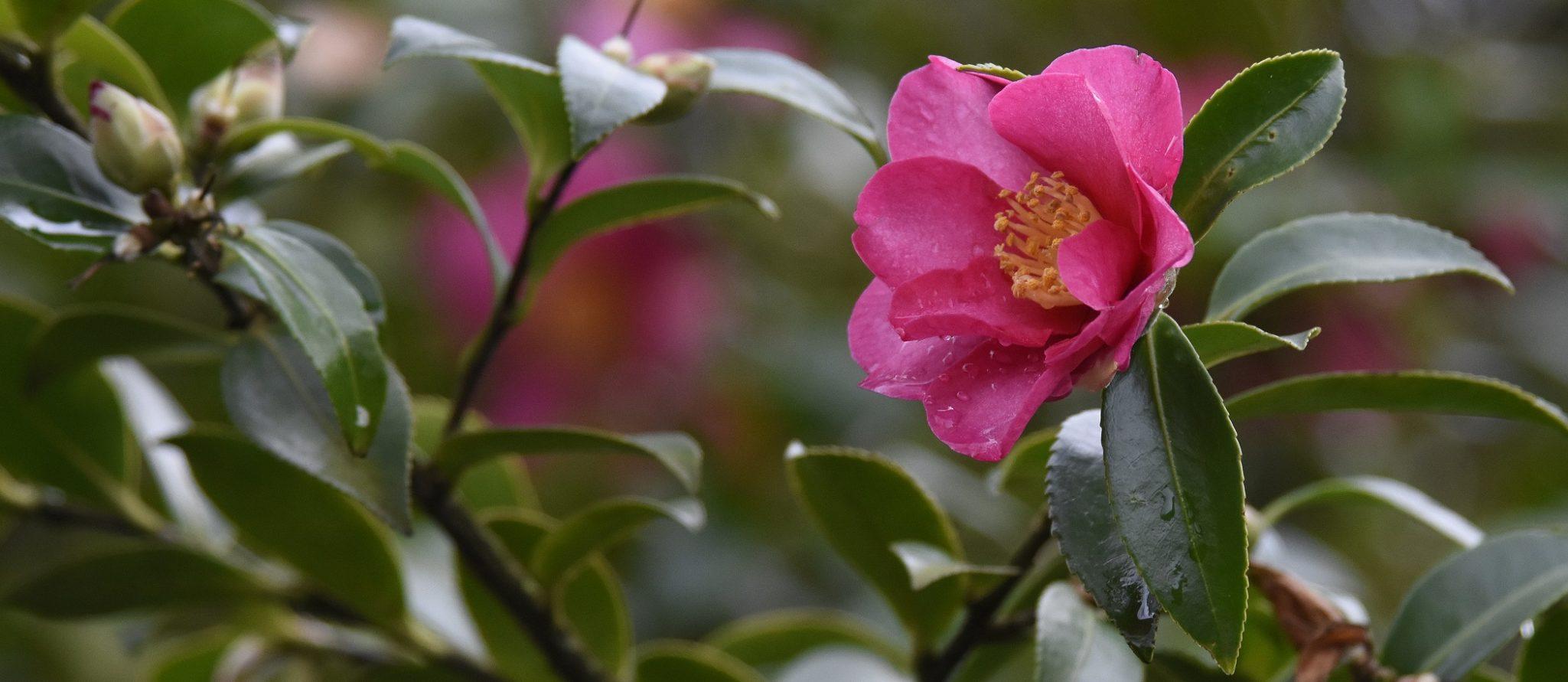 rode japanse roos