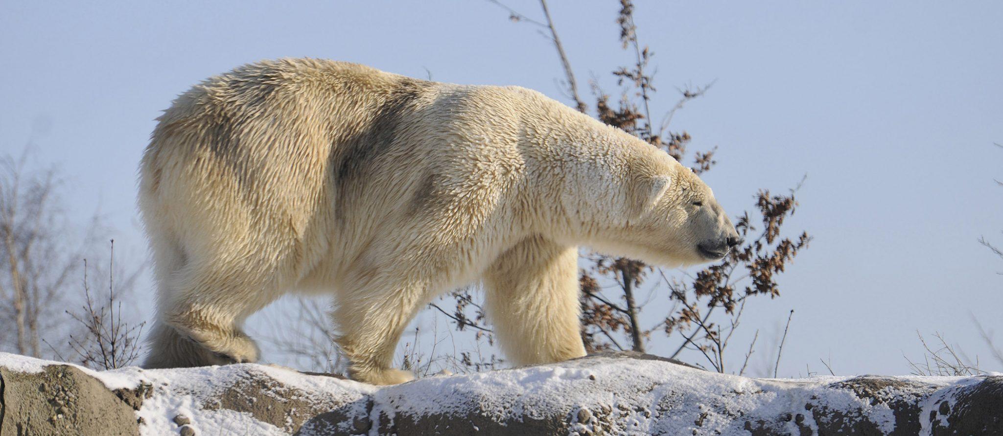 ijsbeer wandelt in de sneeuw