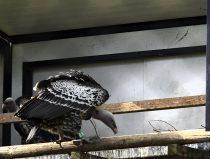 ruppellsgier op nest