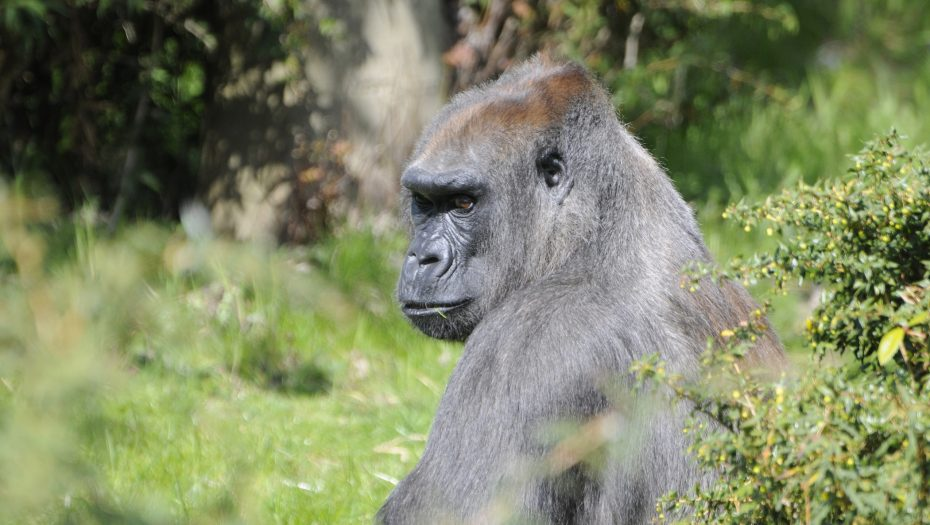 gorilla Annette