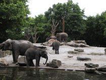 Aziatische olifanten bij drinkplek