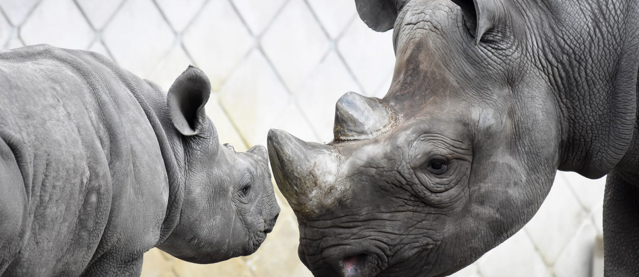 zwarte neushoorn Nasor en moeder Naima