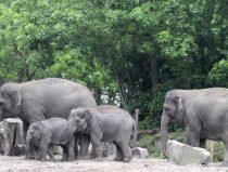 groep Aziatische olifanten
