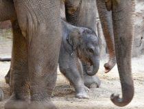 Jonge Aziatische olifant geboren op 5 mei 2021.