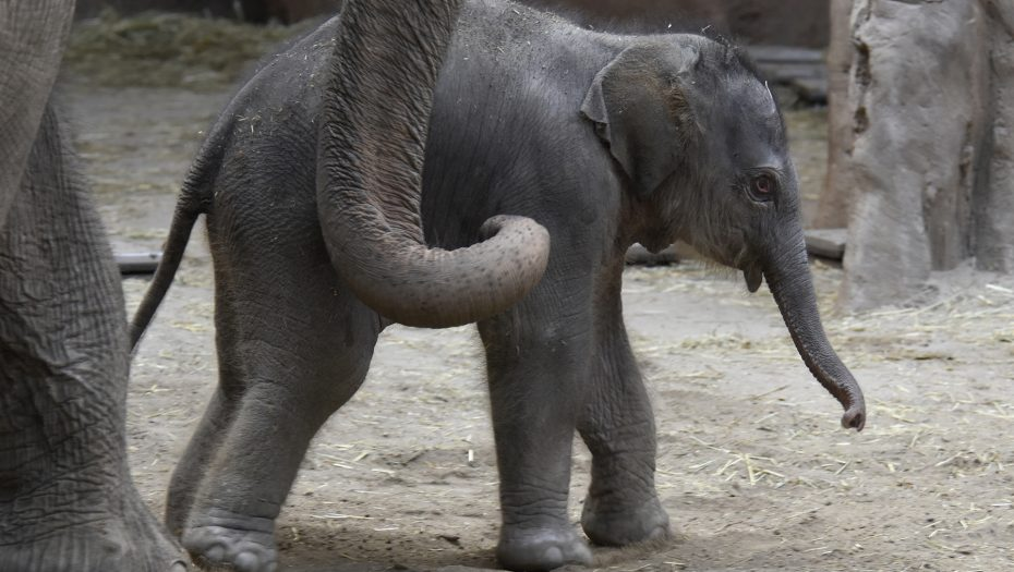 pasgeboren olifantje Diergaarde Blijdorp