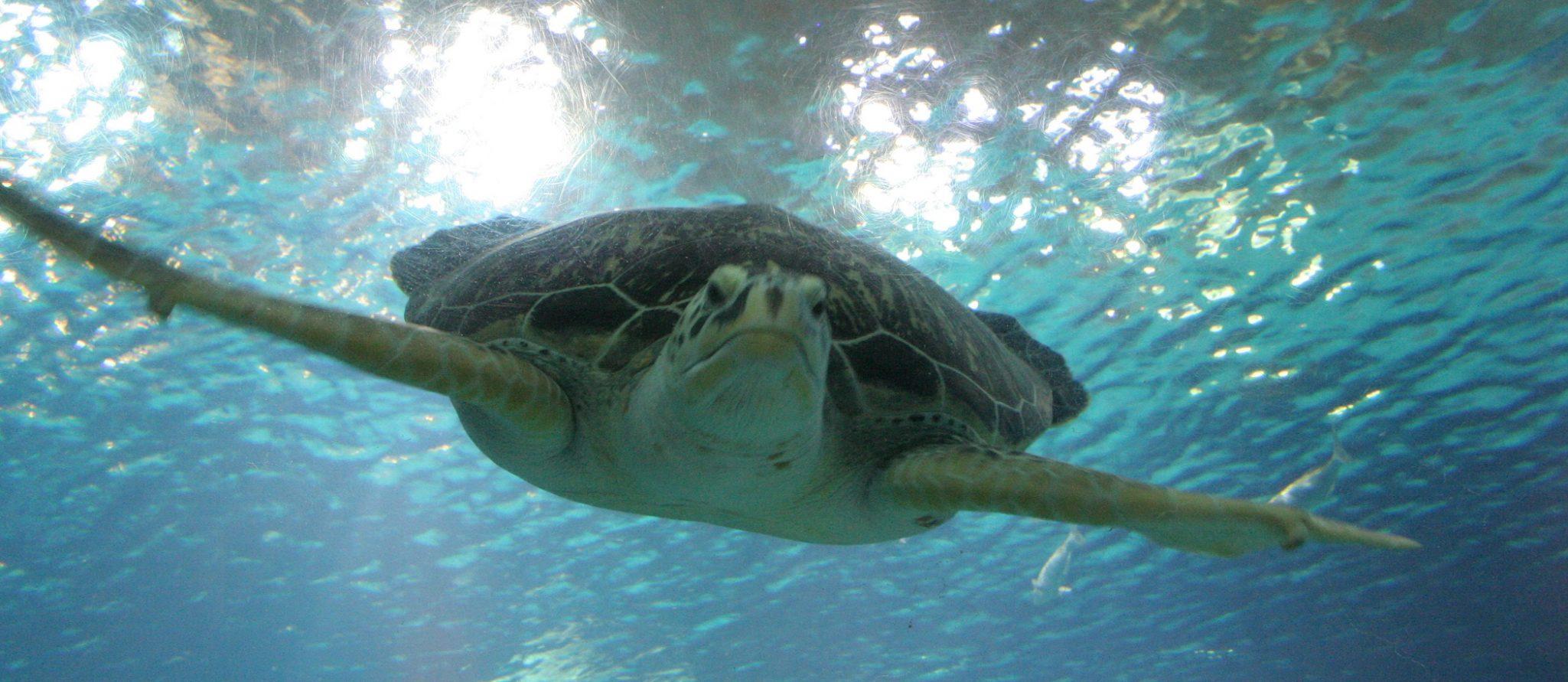 groene zeeschildpad kijk je aan in de haaientunnel van het Oceanium