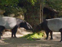 tapirs, still uit tv-serie het echte leven in de dierentuin