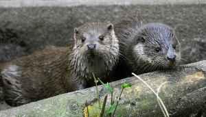 twee Europese otters