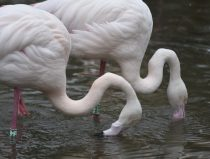 Groep Flamingo's in de nieuwe flamingovolière.