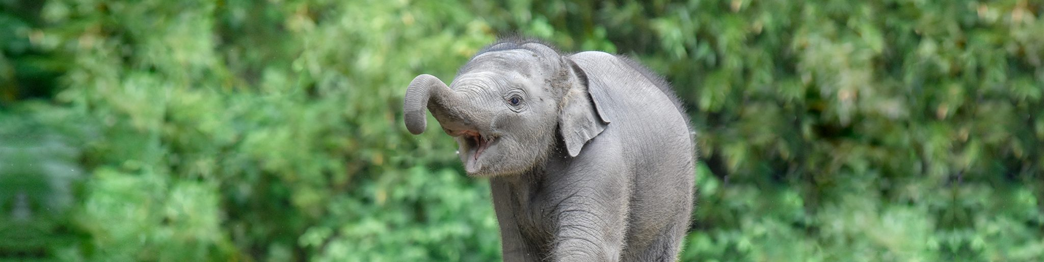 Jonge Aziatische olifant Radjik.