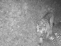 bengaalse tijger foto cameraval nepal