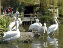 kroeskop pelikanen op hun eiland in de dierentuin