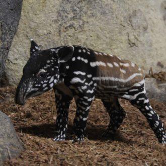 pasgeboren Maleise tapir