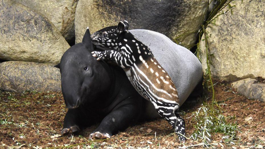 Maleise tapir Krissy klimt op moeder pooh