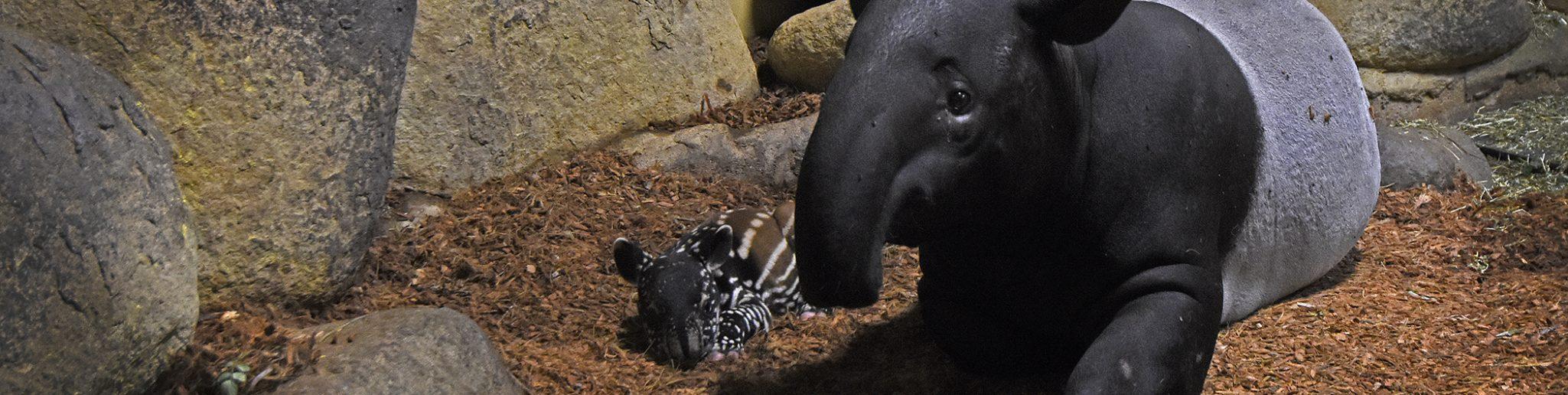 pasgeboren Maleise tapir en moeder Pooh